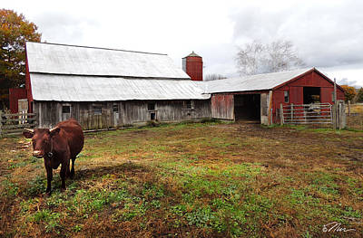 Photograph - Cow On The Farm by Nancy Griswold
