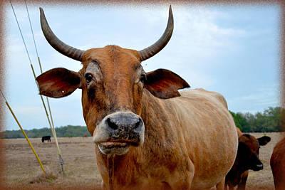 Photograph - Cow Photo 1 by Amanda Vouglas