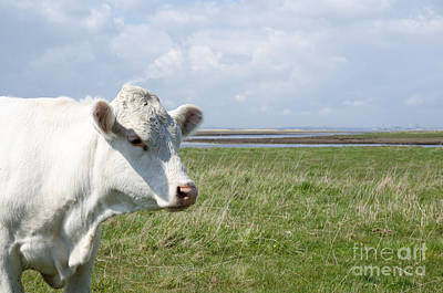 Photograph - Cow Portrait by Kennerth and Birgitta Kullman