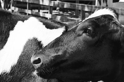 Photograph - Cow Portrait by Vadim Levin