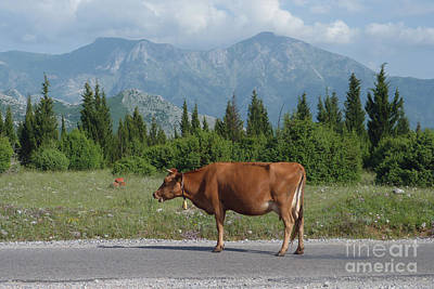Photograph - Cow Road - Albania by Phil Banks