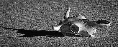 Photograph - Cow Skull And Shadow by Sandra Selle Rodriguez