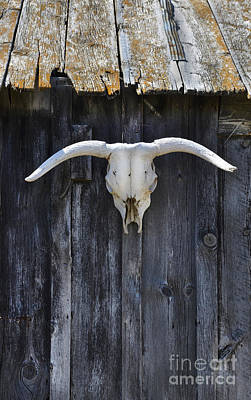 Cow Skull On A Barn Art Print