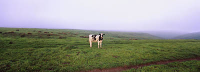 Point Reyes National Seashore Photograph - Cow Standing In A Field, Point Reyes by Animal Images