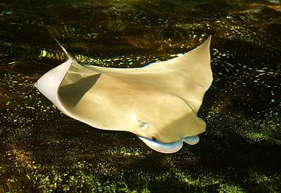 Devil Ray Painting - Cownose Stingray by Manale Images