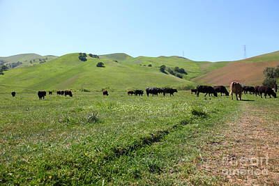 Photograph - Cows Along The Rolling Hills Landscape Of The Black Diamond Mines In Antioch California 5d22346 by Wingsdomain Art and Photography