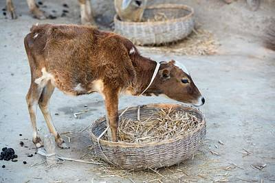 Ganges Photograph - Cows Belonging To Subsistence Farmers by Ashley Cooper