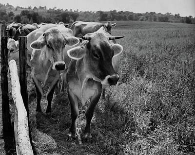 Farm Scene Photograph - Cows Beside A Fence At Fraleigh Farm by Andre Kertesz