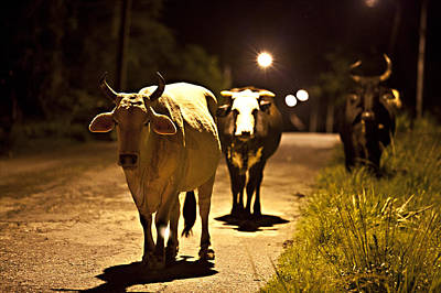 Photograph - Cows Coming Home by Sarita Rampersad