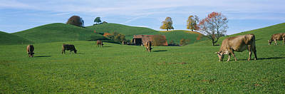 Cows Grazing On A Field, Canton Of Zug Art Print by Panoramic Images
