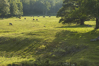 Maine Meadow Photograph - Cows Grazing On Grass In Rockport  Maine by Keith Webber Jr