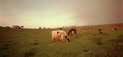 Photograph - Cows In Cornwall by E j Carr