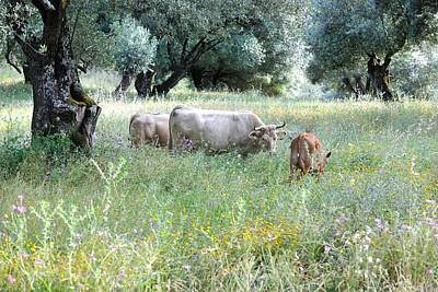 Cow Photograph - Cows In Meadow With Olive Trees by Frank Zunneberg