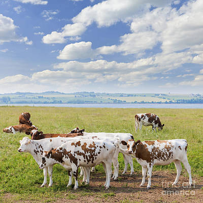 Brown Cow Photograph - Cows In Pasture by Elena Elisseeva