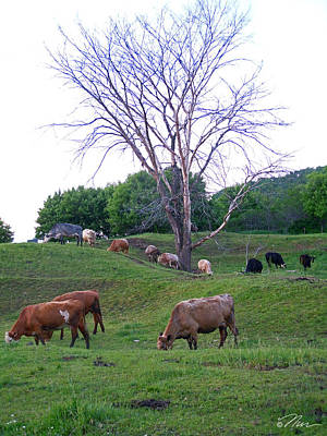 Photograph - Cows In Rolling Hills by Nancy Griswold
