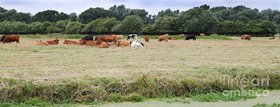 Photograph - Cows In Suffolk England by Nicholas Burningham