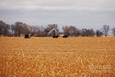 Cows In The Corn Art Print
