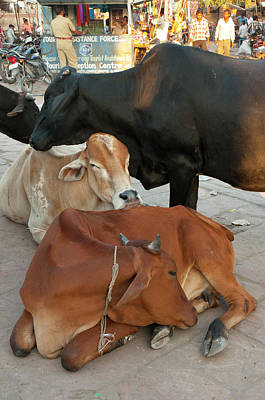 Brown Cow Photograph - Cows In The Market, Sardar Market by Inger Hogstrom