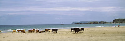 County Antrim Photograph - Cows On The Beach, White Rocks Bay by Panoramic Images