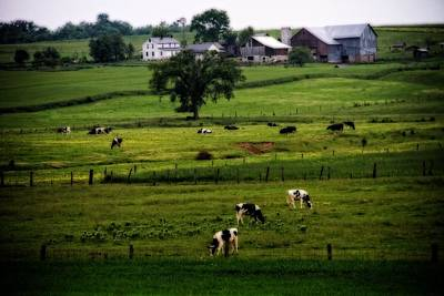 Cows On The Farm Amish Country Art Print by Dan Sproul