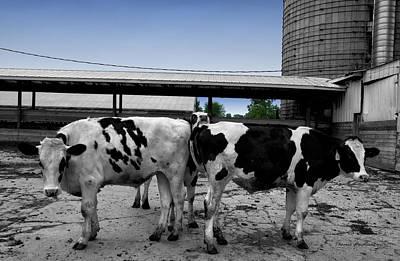 Barnyard Digital Art - Cows Peek A Boo by Thomas Woolworth