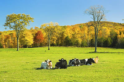 Maine Meadow Photograph - Cows Resting On Grass In Farm Field Autumn Maine Photograph by Keith Webber Jr