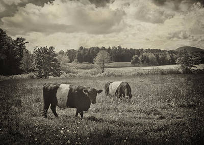 Photograph - Cows Rockport Maine by Mikael Carstanjen