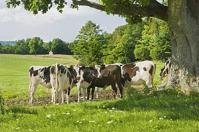 Holstien Photograph - Cows Under Tree In Farm Field Summer Maine Photograph by Keith Webber Jr