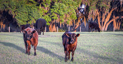 Photograph - Cows With Long Shadows by Christy Usilton