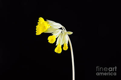Photograph - Cowslip Closeup by Kennerth and Birgitta Kullman