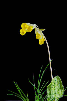 Photograph - Cowslip Flower On Black by Kennerth and Birgitta Kullman