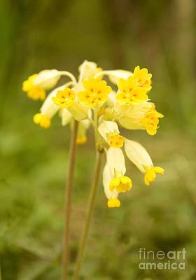 Yellow Photograph - Cowslip   Primula Veris by Liz Leyden