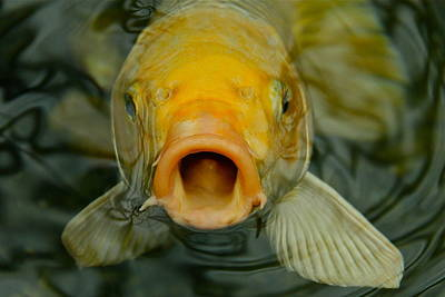 Photograph - Coy Koi by Denise Mazzocco