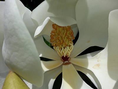 Coy Magnolia Art Print by Caryl J Bohn