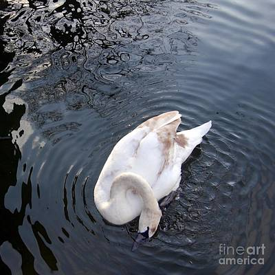 Photograph - Coy Swan by Linda Prewer