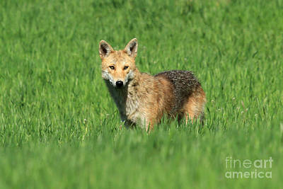 Photograph - Coyote 1 by Butch Lombardi