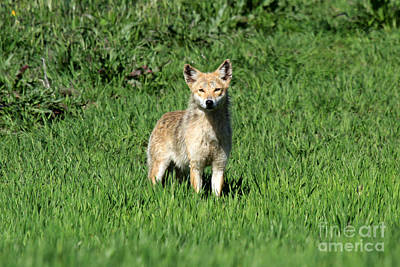 Photograph - Coyote 2 by Butch Lombardi