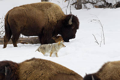 Bison Photograph - Coyote Among Bison Herd by Ken Archer