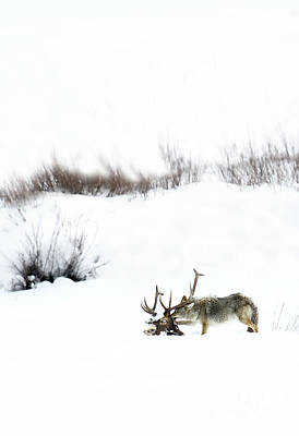 Photograph - Coyote At Elk Carcass by Deby Dixon