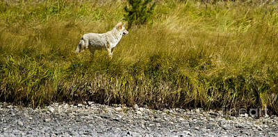 Beastie Boys - Coyote At The Yellowstone River   #8862 by J L Woody Wooden