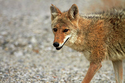 Coyote (canis Latrans Art Print