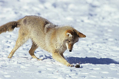 Susan Photograph - Coyote (canis Latrans by Richard and Susan Day