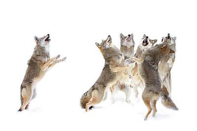 Coyote Choir Art Print by Jim Cumming
