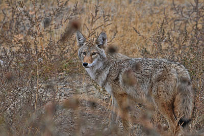 Photograph - Coyote by David Armstrong