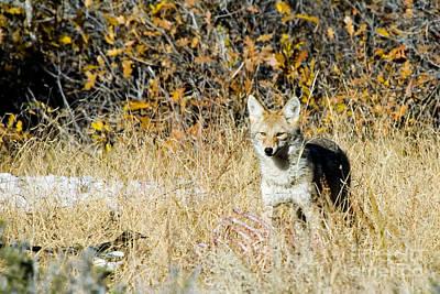 Photograph - Coyote Feeding by Steve Krull