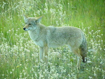 Photograph - Coyote  by Georgia Hamlin