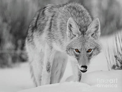 Photograph - Coyote Glare Bw by Bill Singleton
