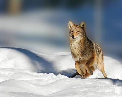 Coyote Go Go Go Art Print