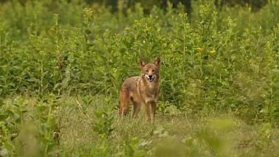 Coyote Happy Art Print