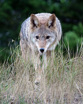 Photograph - Coyote In Autumn Grass by Jack Bell